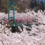 道の駅どうし 桜が満開です
